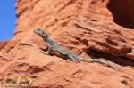 Checkwalla at Valley of Fire State Park