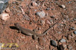 Lizard at Valley of Fire State Park