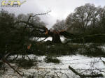 Weight of snow collapses giant oak tree