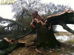Huge oak tree collapses across field fence under weight of snow